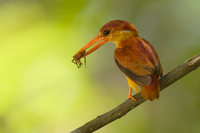 Oriental Dwarf Kingfisher @ Panti Malaysia