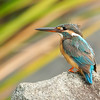 Common Kingfisher @ Japanese Garden, Singapore