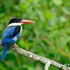 Black-capped kingfisher @ Penang, Malaysia