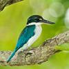 Collared Kingfisher @ Chinese Garden, Singapore