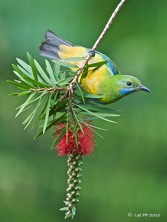 Orange-bellied Leafbird @ Fraser's Hill, Pahang, Malaysia