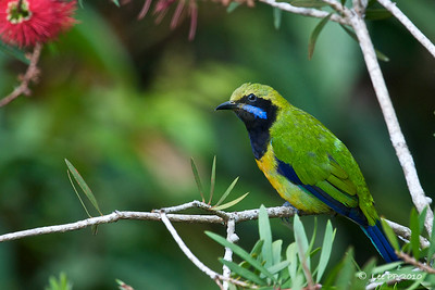 Orange-bellied Leafbird - male @ Fraser's Hill, Pahang, Malaysia