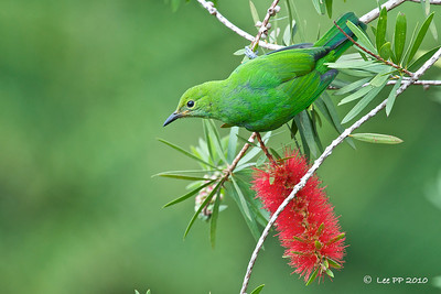Orange-bellied Leafbird (juvenile) @ Fraser's Hill, Pahang, Malaysia