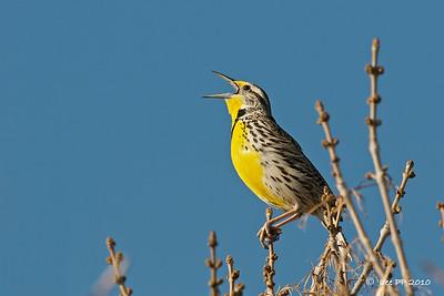 Western Meadowlark @ Utah, USA