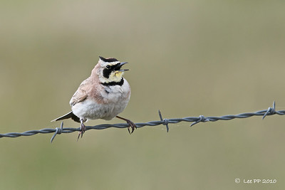 Horned Lark  Along the drive into the Refuge - scrub and farmland.