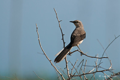 Tropical mockingbird  One thing is great when birding in overseas countries - every specie you see is usually a lifer to you!