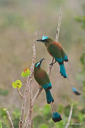 Turquoised-browed Motmots  Looked like a failed courtship....it (the upper one) didnt seem to take any notice of the lower bird's offer....  ;-)