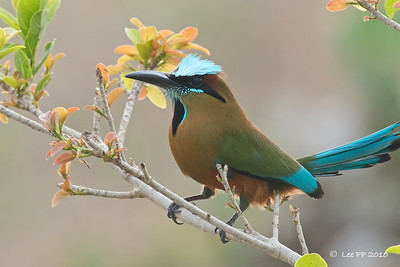 """Turquoised-browed Motmot  This bird filled me with super-excitement when I first spotted it. I shouted """"wow...a colored racquet-tailed!"""""""