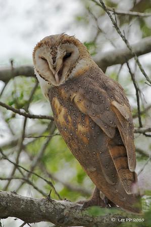 Barn owl @ Ulu Dedap, Perak, Malaysia
