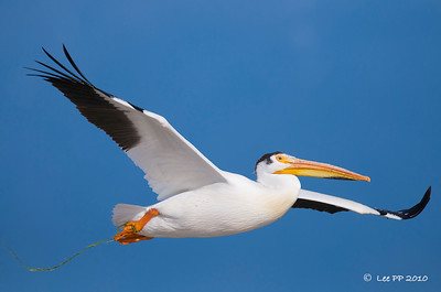 American White Pelican  @ Bear River Bird Refuge, Utah  Hope it gets to free itself from that reed eventually.....