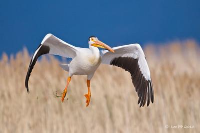 American White Pelican @ Bear River Bird Refuge, Utah