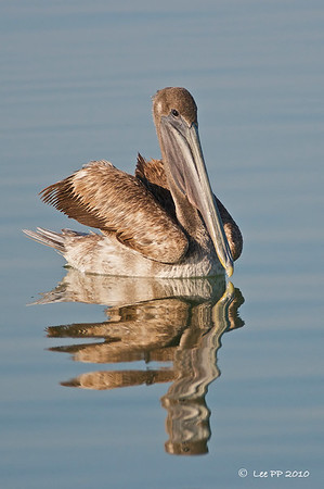Brown Pelican - juvenile  @ Yucatan, Mexico  Quite a few were seen swimming in the waters near the boats at the pier @ Rio Lagartos hotel/restaurant.