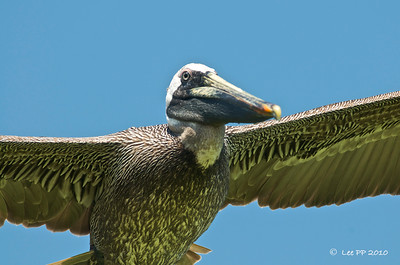 Brown Pelican   @ Yucatan, Mexico  Sometimes it flew so low and close that it could be just right above your head/lens!