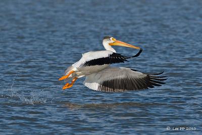 American White Pelican - take off # 3  @ Bear River Bird Refuge, Utah