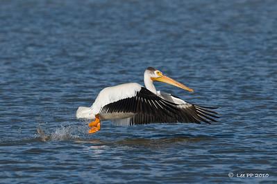 American White Pelican - take off #1  @ Bear River Bird Refuge, Utah