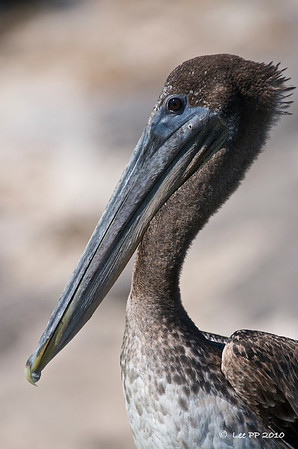 Brown Pelican  @ Yucatan, Mexico  It likes to rest on the edge of the bridge overlooking the river - probably to watch for fishes being discarded by men fishing on the bridge/nearby boats.
