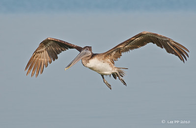 Brown Pelican - juvenile  @ Yucatan, Mexico  I have to say, pelicans made wonderful subject for photography. They are not shy creatures and they flew so low and so slow that you need not pump up your ISO for flight shots. No problem with AF too judging by the size of this bird. :-)