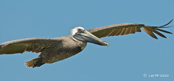 Brown Pelican   @ Yucatan, Mexico