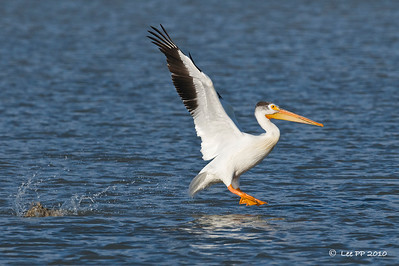 American White Pelican - take off #2  @ Bear River Bird Refuge, Utah