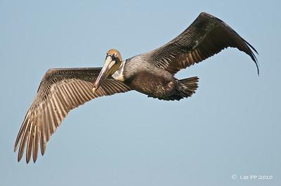 Brown Pelican - Adult - Non-breeding plumage  @ Yucatan, Mexico