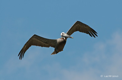 Brown Pelican  @ Yucatan, Mexico