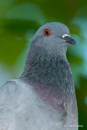 Rock pigeon @ Singapore Botanical Garden