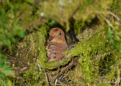 Little cuckoo-dove nesting @ Fraser's Hill, Pahang, Malaysia
