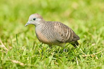 Peaceful dove @ Teluk Intan, Perak, Malaysia