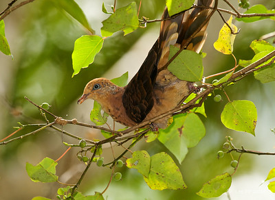 Little cuckoo-dove @ Fraser's Hill, Pahang, Malaysia