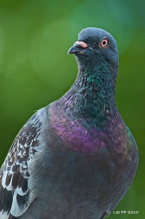 Rock pigeon @ Chinese Garden, Singapore
