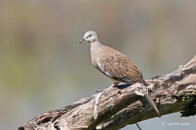 Peaceful dove @ Kinta Nature Park, Perak, Malaysia
