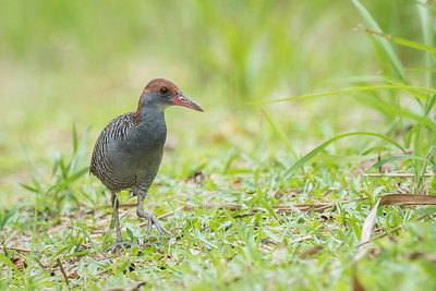 Slaty-breasted Rail - Putrajaya - July 2016
