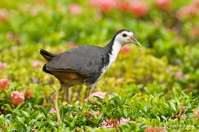 White-breasted waterhen @ Japanese Garden, Singapore.