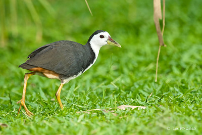 White-breasted waterhen @ Singapore Botanical Garden