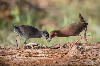 Ruddy-breasted Crakes - Putrajaya - June 2016