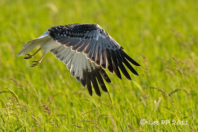 Eastern Marsh Harrier- male