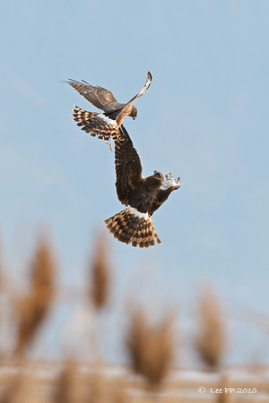 Northern Harriers - a fight for territory?? Two females.