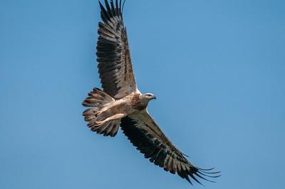 White-bellied Sea-Eagle - Juvenile