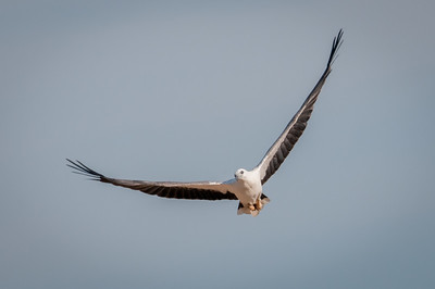 White-bellied Sea-Eagle - Oct 2010 - Sitiawan, Perak