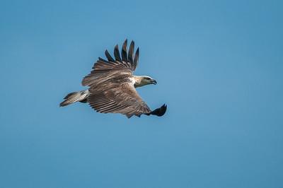 White-bellied sea-eagle @ Langkawi, Kedah, Malaysia