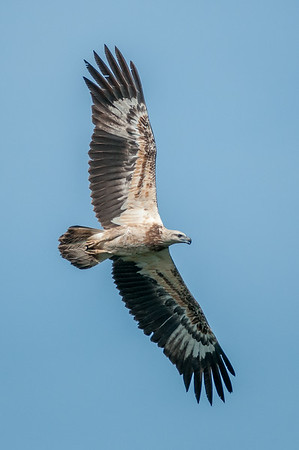 White-bellied Sea-Eagle - Juvenile