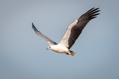 White-bellied Sea-Eagle - Oct 2010 - Sitiawan, Perak