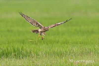 Eastern Marsh-Harrier @ Ulu Dedap, Perak, Malaysia
