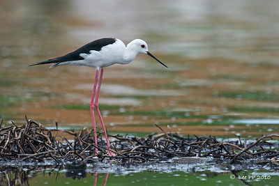 Black-winged Stilt  Look at its long legs!!!