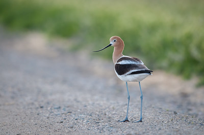 American Avocet At Bear River Bird Refuge