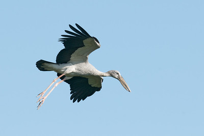 Asian Openbill Stork @ Melaka, Malaysia