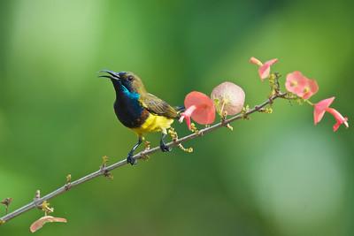 Olive-backed sunbird (male) @ Taiping, Perak, Malaysia