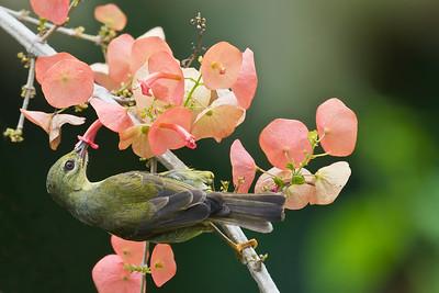 Brown-throated Sunbird (female) @ Taiping, Perak, Malaysia