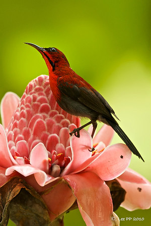 Crimson sunbird @ Mandai Orchid Garden, Singapore