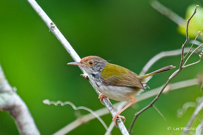 Common Tailorbird @ Taiping, Perak, Malaysia  Hope to get an improvement shot with a better background of this active bird.